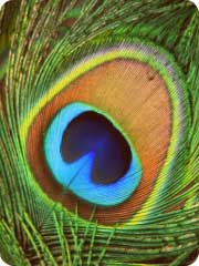Download free Peacock sounds